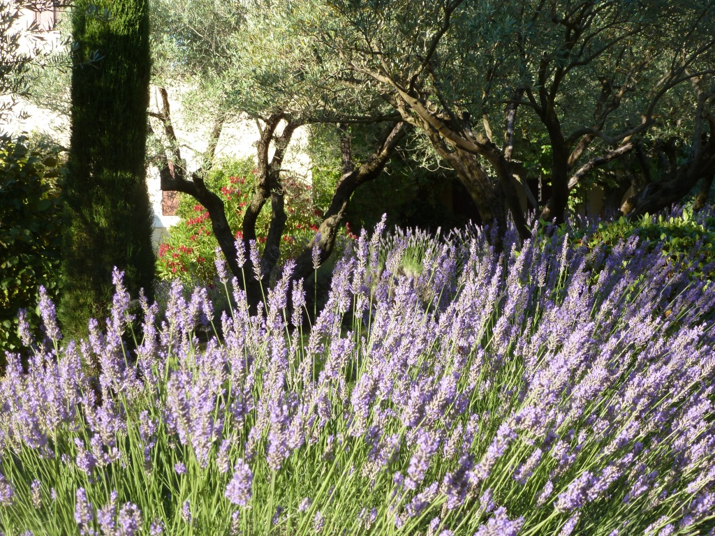 Lavender season at Les Olivettes.jpg